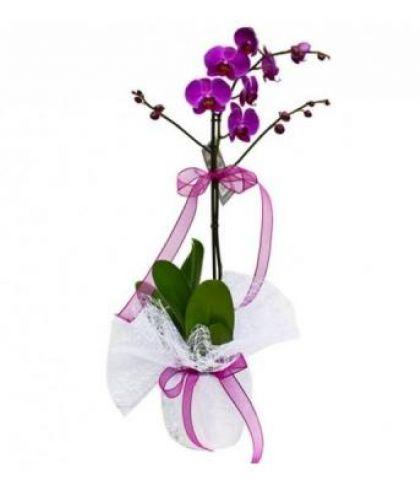 Tek Dal Orkide